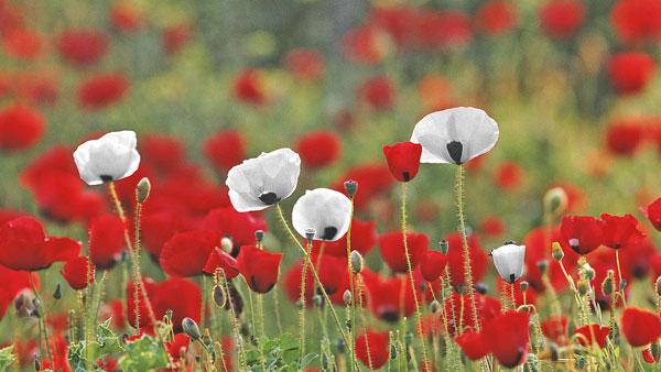 White-Poppy-Red Poppy