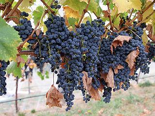 Wine_grapes08